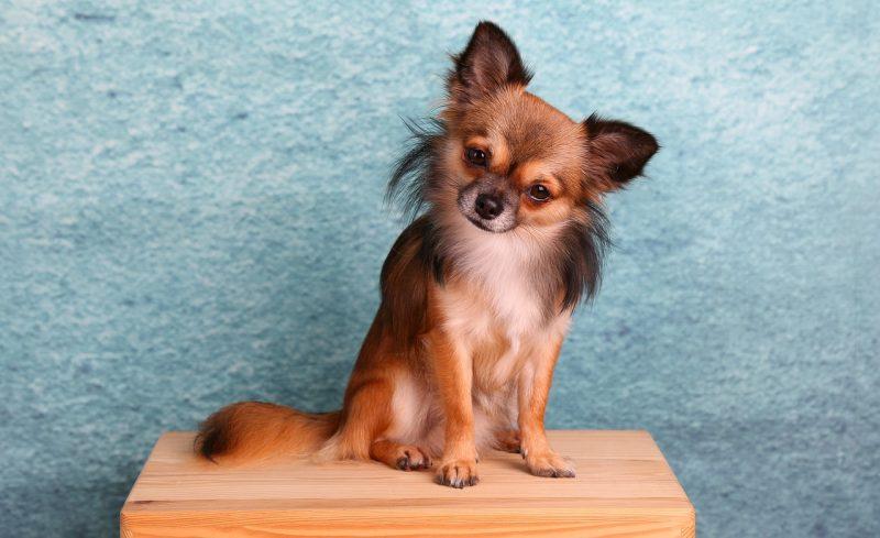 Chihuahua Käfig