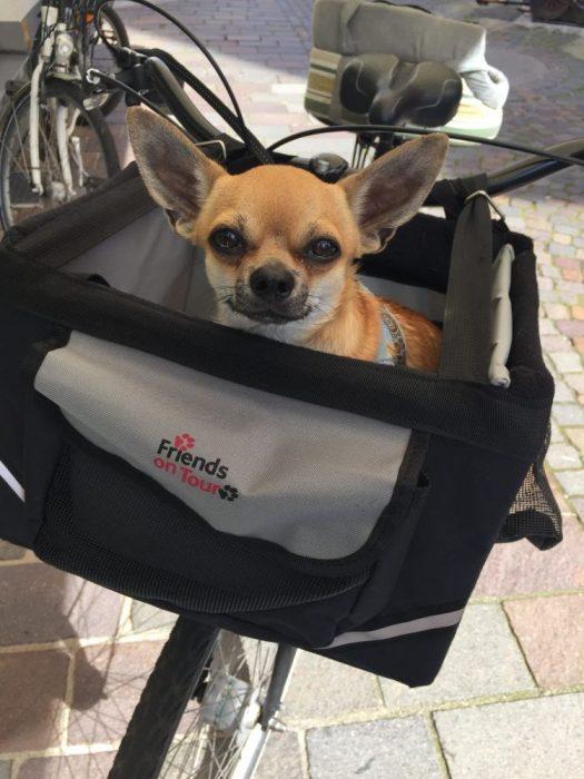 Chihuahua Fahrradfahren