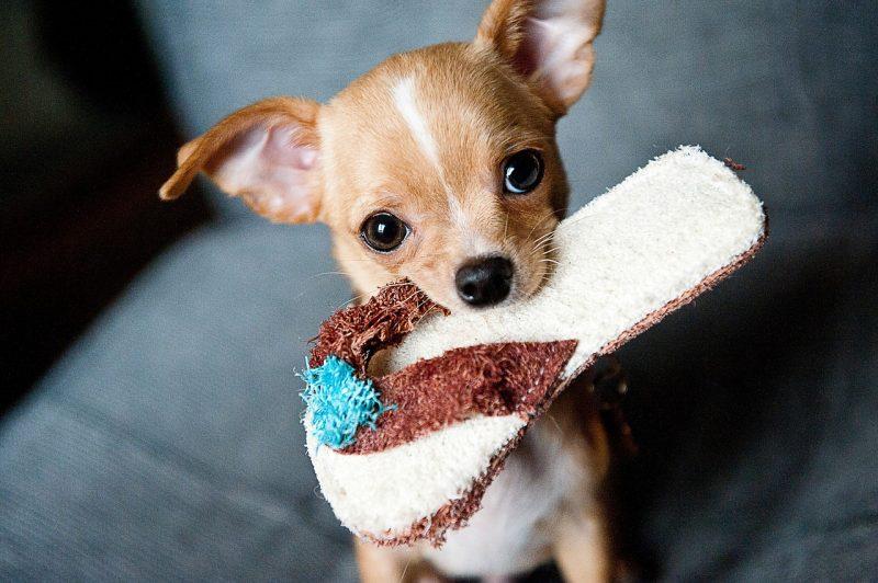 Chihuahua Erstausstattung
