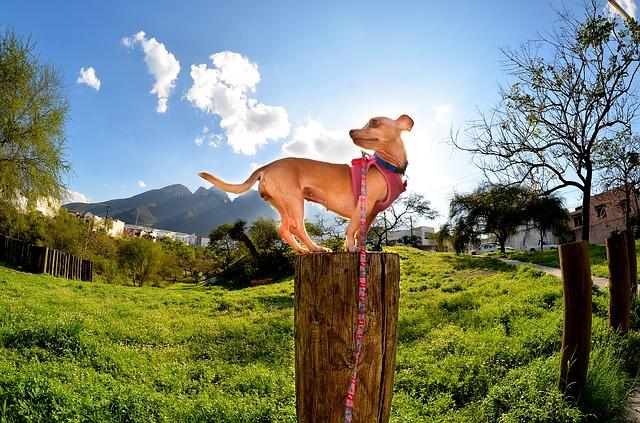 Chihuahua_Hundegeschirr