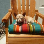 Chihuahua Rückwärtsniesen